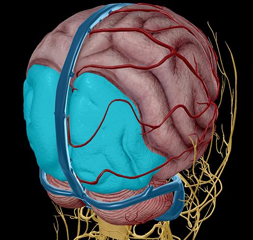 Cerebrum-occipital-lobe-vision-optic-nerve-chiasm
