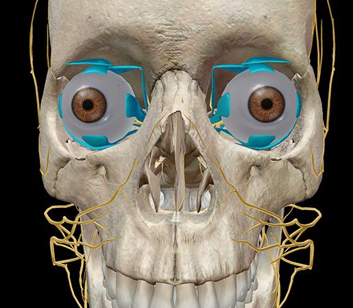 Extraocular-muscles-rectus-eyes-ocular-movement