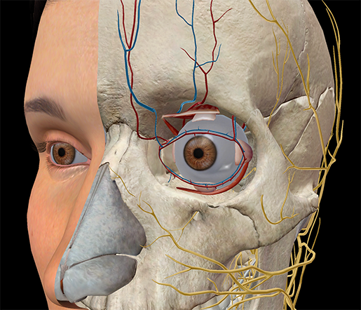 Eye-vision-extraocular-muscles-opthalmic-vein-artery