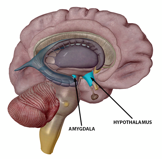 stress-response-admygdala-and-hypothalamus