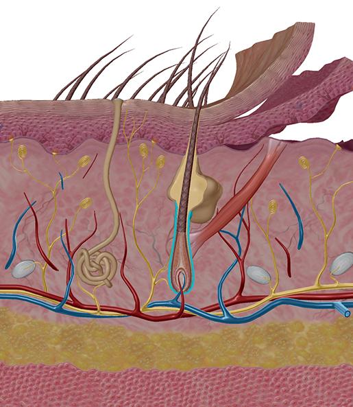 stress-response-hair-follicle
