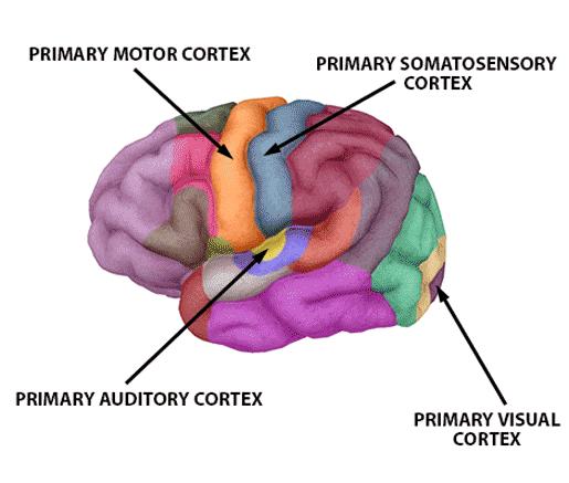 functional-brain-areas-motor-sensory-auditory-visual
