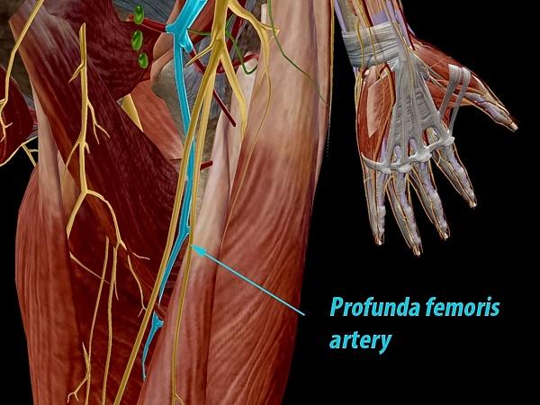 Profunda femoris artery, in context.