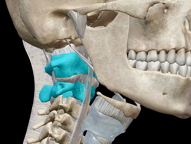 3d Skeletal System Atlas Axis And The Atlanto Axial Relationship