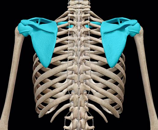 3d-skeletal-system-shoulder-girdle-all-bones