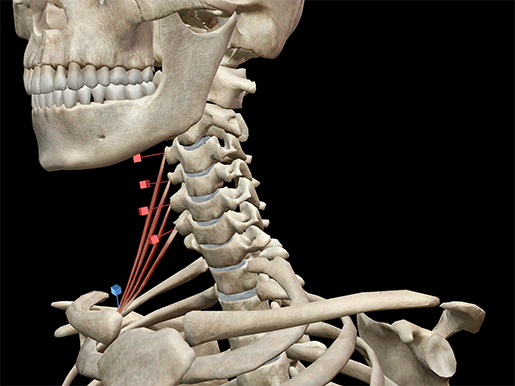 anterior-scalene-neck-muscles-revised