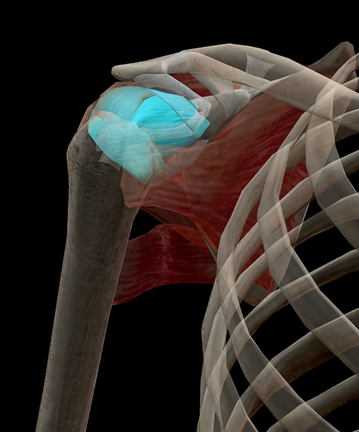 articular-capsule-shoulder-in-context