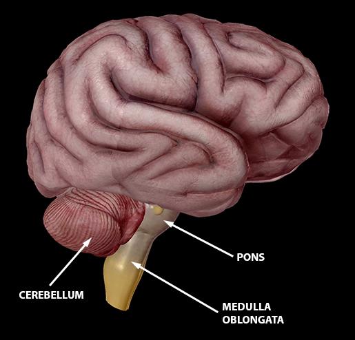 brain-hindbrain-cerebellum-pons-medulla-2