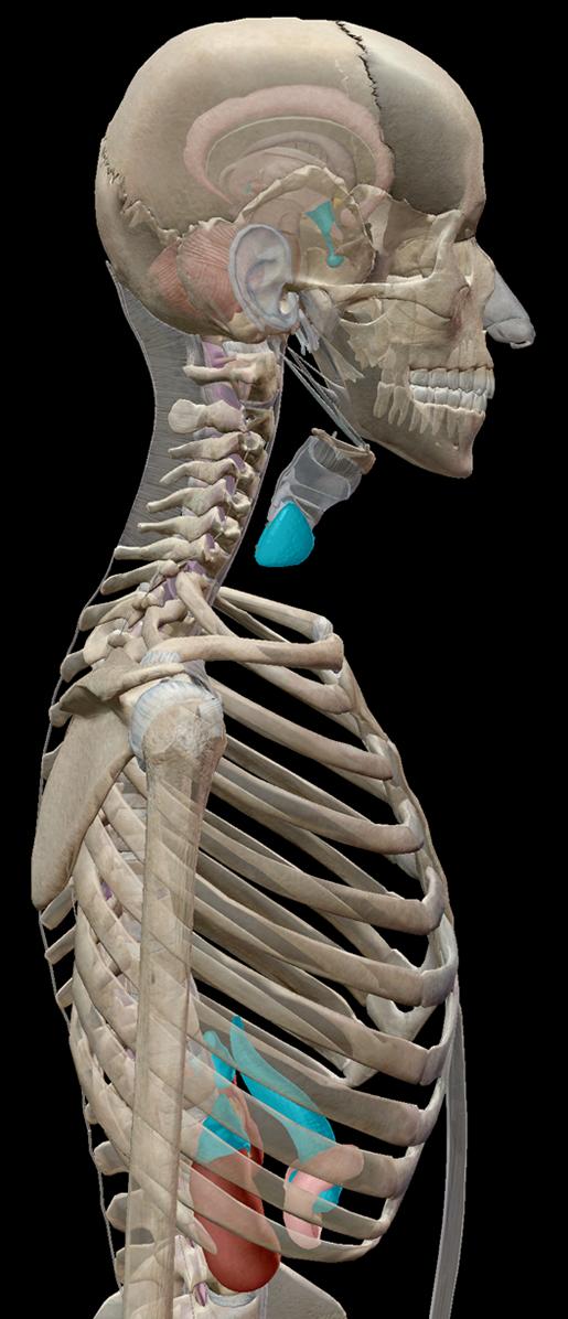 endocrine-system-endocrine-organs