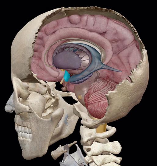 endocrine-system-hypothalamus