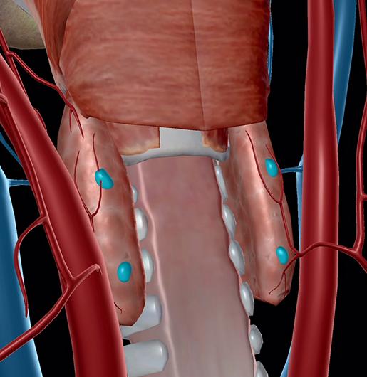 endocrine-system-parathyroids-resize
