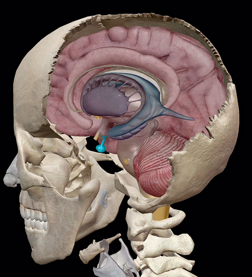 endocrine-system-pituitary