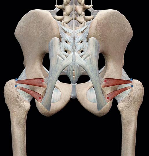 hip-lateral-rotators-gemelli