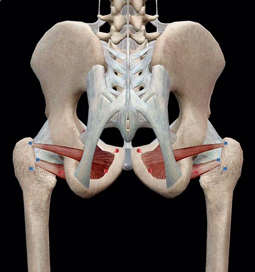 hip-lateral-rotators-obturators