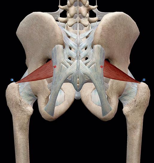 hip-lateral-rotators-piriformis