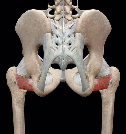 hip-lateral-rotators-quadratus-femoris