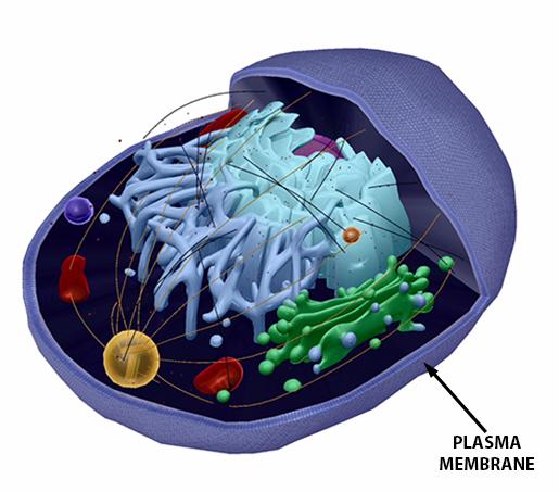 human-cell-plasma-membrane