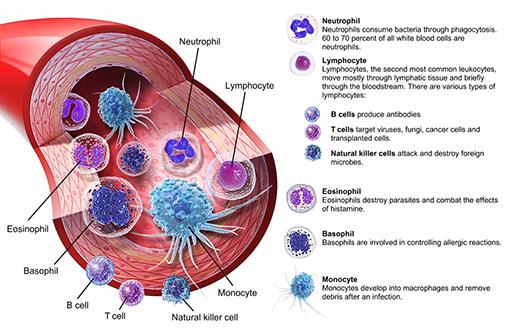 immunity-white-blood-cells