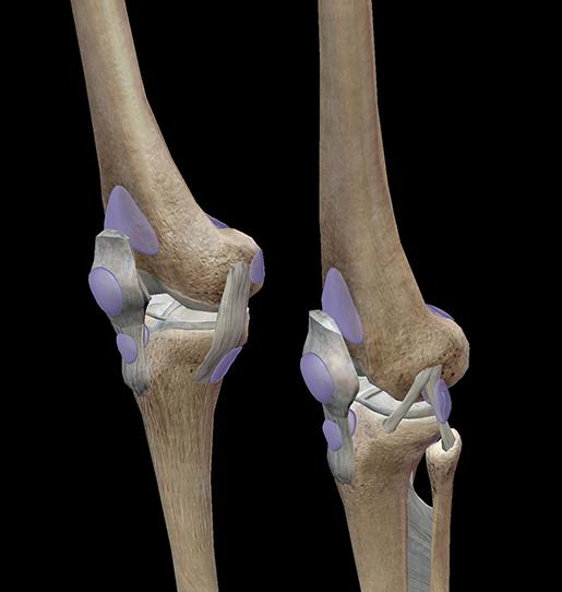 knee-joint-bursae
