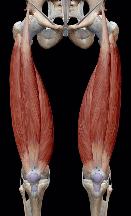 knee-joint-quadriceps-femoris-group