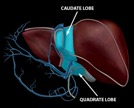 liver-hepatic-portal-vein-caudate-quadrate