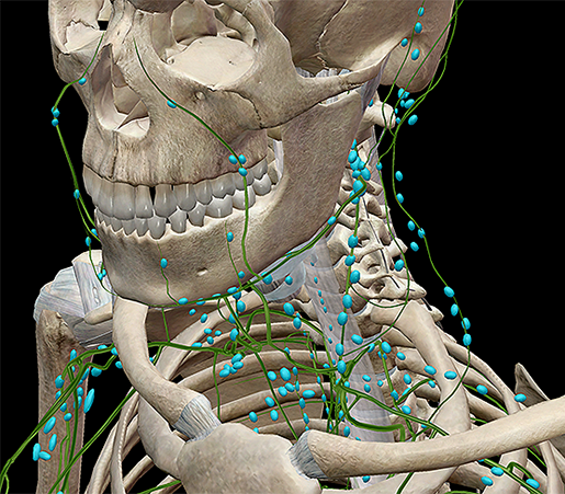 lymphatic-innate-adaptive-nodes