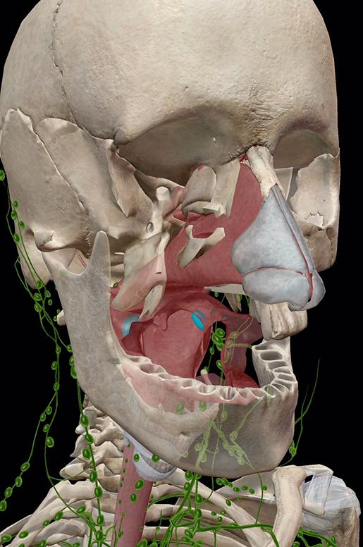 lymphatic-system-palatine-tonsils