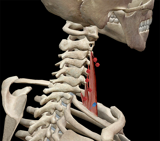 medial-scalene-muscle-neck-revised