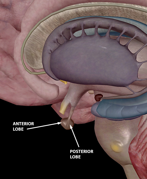 pituitary-anterior-and-posterior-lobes-2