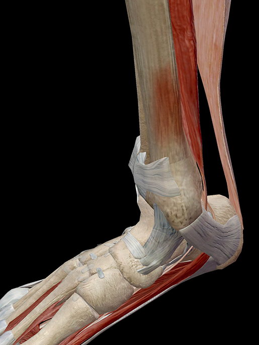 Hold On To Your Tibias The Anatomy And Causes Of Shin Splints