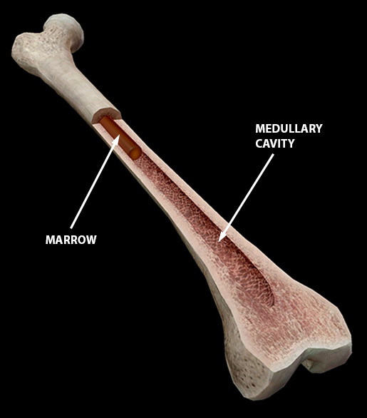 skeletal-spongy-compact-bone-femur-marrow