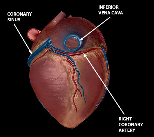 blood-vessels-cardiac-veins-coronary-arteries-1