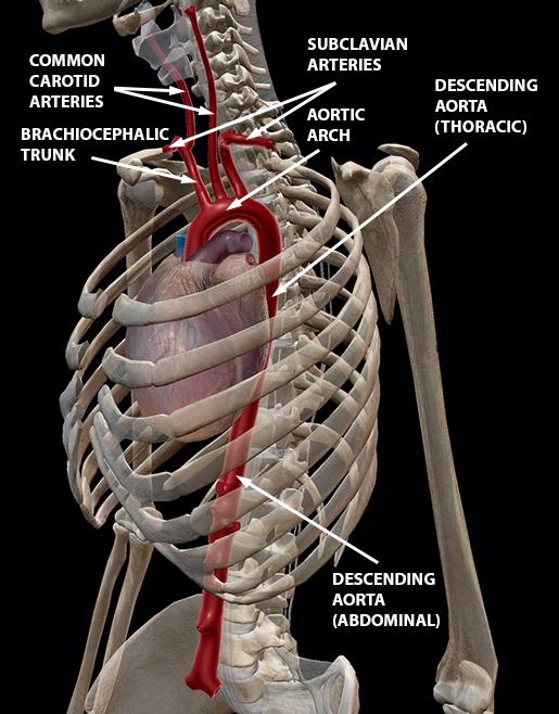 blood-vessels-great-vessels-aorta-2