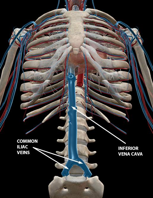 blood-vessels-inferior-vena-cava-common-iliac-veins