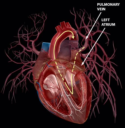 blood-vessels-pulmonary-veins-left-circuit-solidarrow
