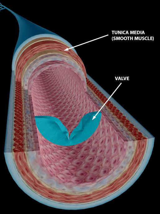 blood-vessels-vein-structure-valve