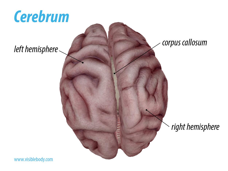 Cerebrum Hemispheres.png