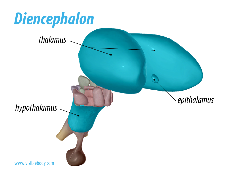 Diencephalon.png