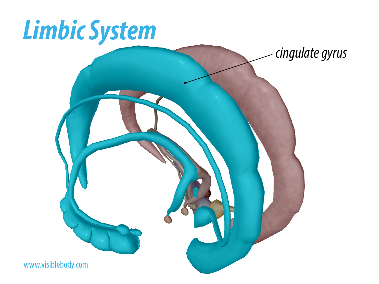 Limbic System - Cingulate Gyrus.png