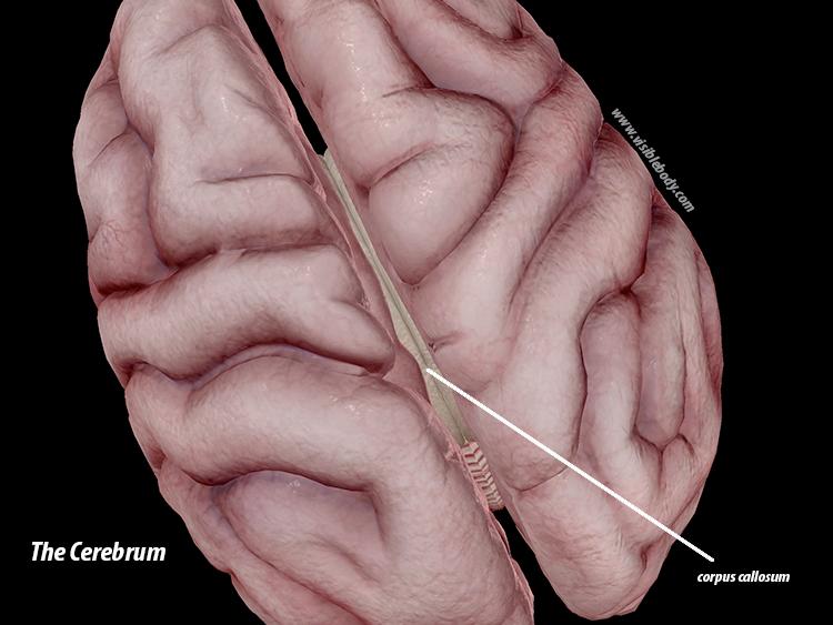 Cerebrum-corpus-callosum-brain-nervous-system.png