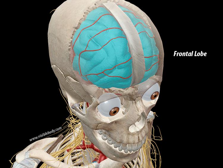 Frontal-Lobe-Cerebrum-Brain.png
