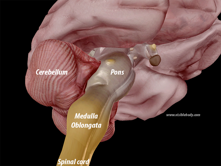 Hindbrain-rhombencephalon-pons-medulla-oblongata-cerebellum.png