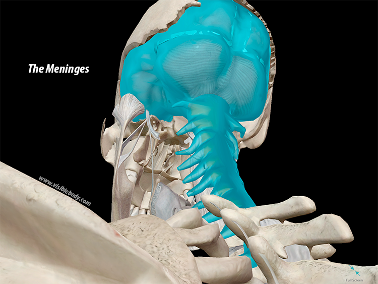 The Meninges (dura, pia, and spinal mater), in context