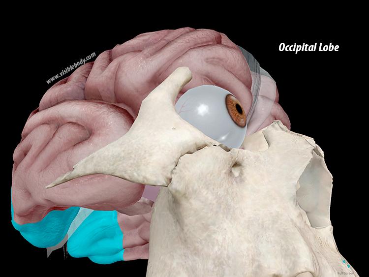 Occipital-Lobe-Cerebrum-Brain.png