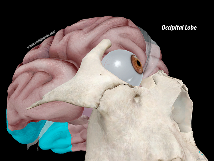A Lot on Our Minds: A Virtual Human Brain Dissection with ...