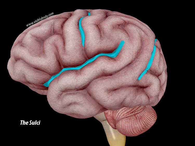 Sulci-brain-cerebrum.png