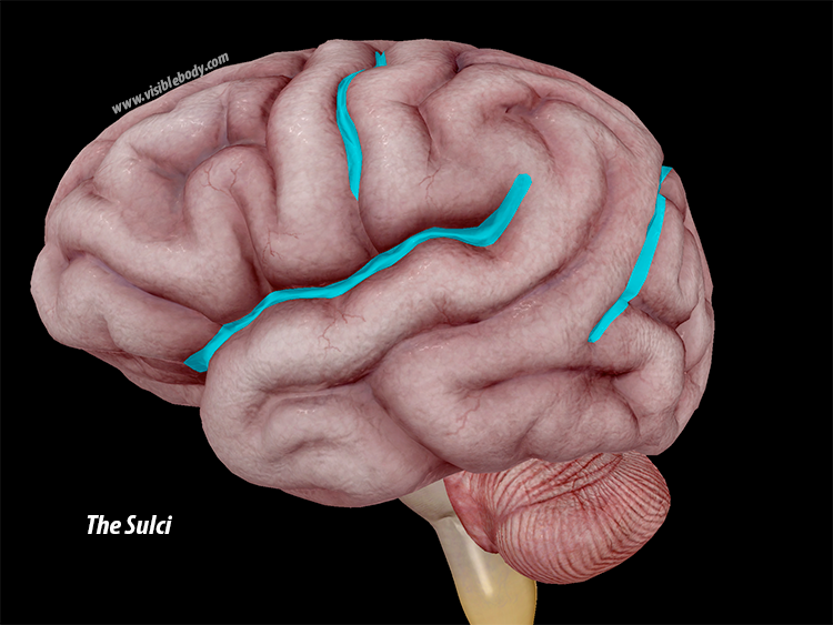 A Lot On Our Minds A Virtual Human Brain Dissection With Atlas 2017