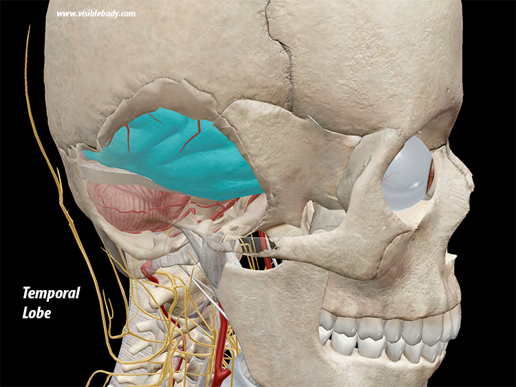 Temporal-Lobe-Brain-Cerebrum.png