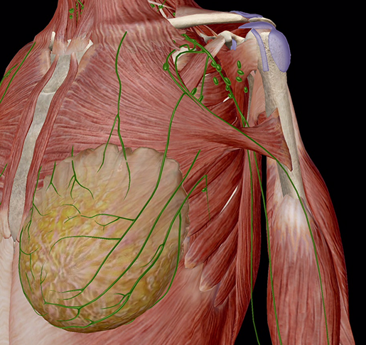 female-breast-and-lymphatic-system