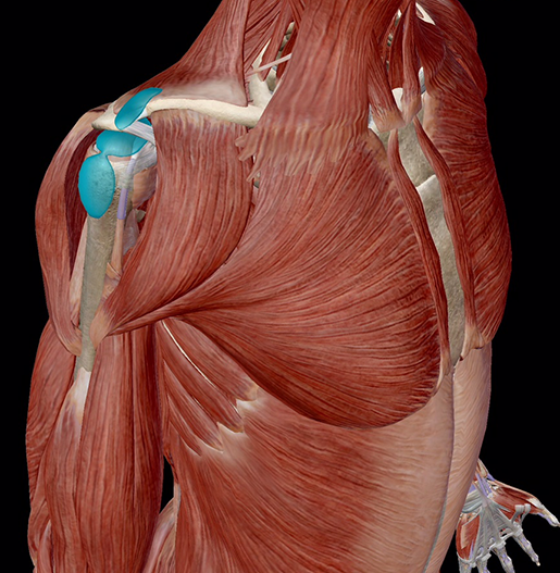 bursitis-shoulder-bursae